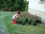 Rózsaültetés a templom kertben